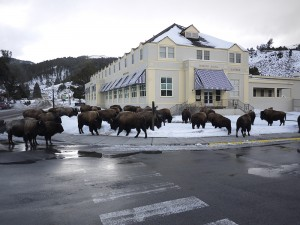 Herd of Bisons in Mammoth Wyoming January 2013