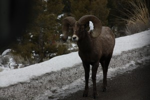 Bighorn Sheep Wyoming January 2013