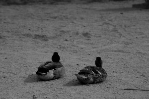 my guarding ducks Joshua Tree, CA May 2013